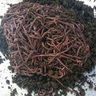 ANC (African Night Crawler) Earthworms 1Kg Promo