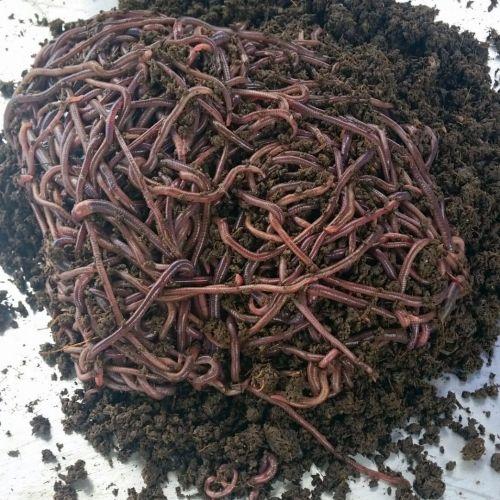 ANC (African Night Crawler) Earthworms 1Kg Promo
